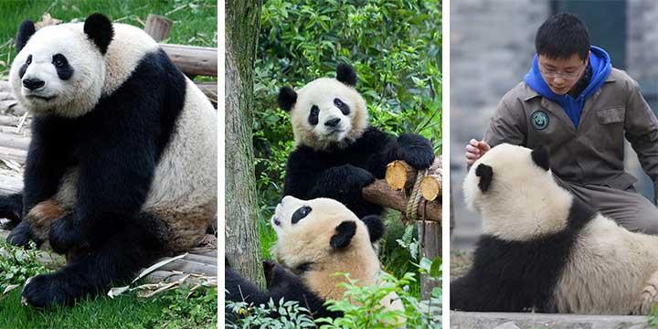 Panda Gigiante
