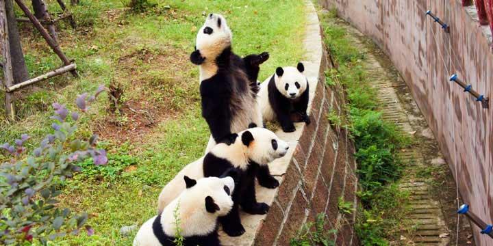 Base di Ricerca e Allevamento di Panda Gigante a Chengdu