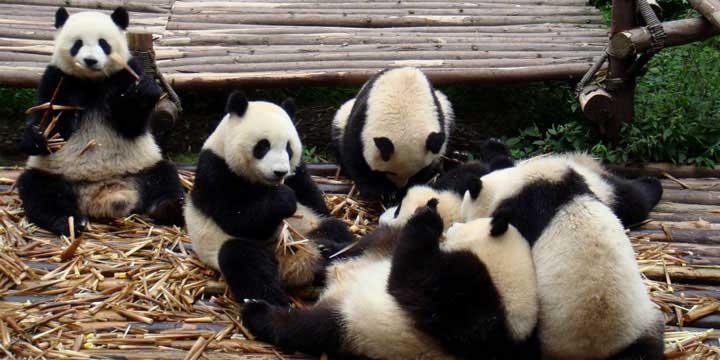 la Base di Ricerca e Allevamento di Panda Gigante a Chengdu