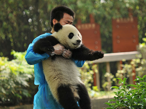 https://it.topchinatravel.com/pic/citta/chengdu/attractions/Chengdu-Research-Base-of-Giant-Panda-Breeding-16.jpg