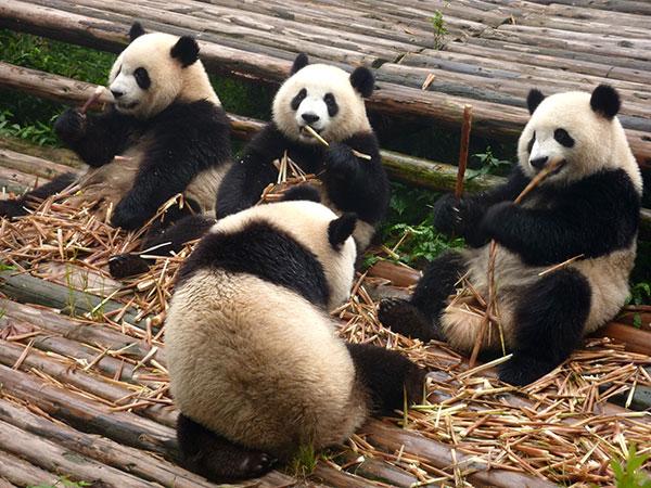 Base di Ricerca e Allevamento dei Panda Giganti di Chengdu