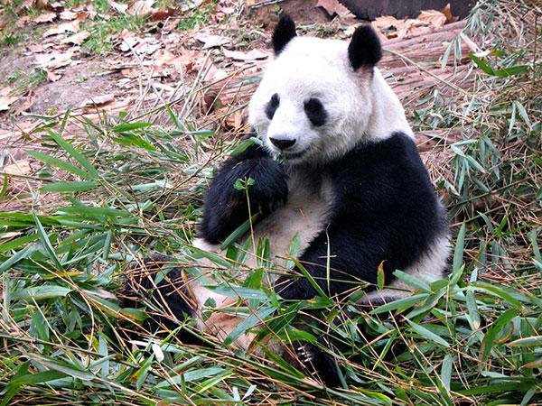 Panda Giante