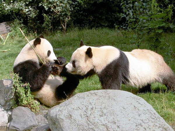https://it.topchinatravel.com/pic/citta/chengdu/attractions/chengdu-reserach-base-of-giant-panda-breeding-15.jpg