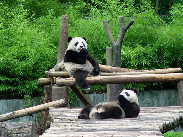tour della base di panda a chengdu